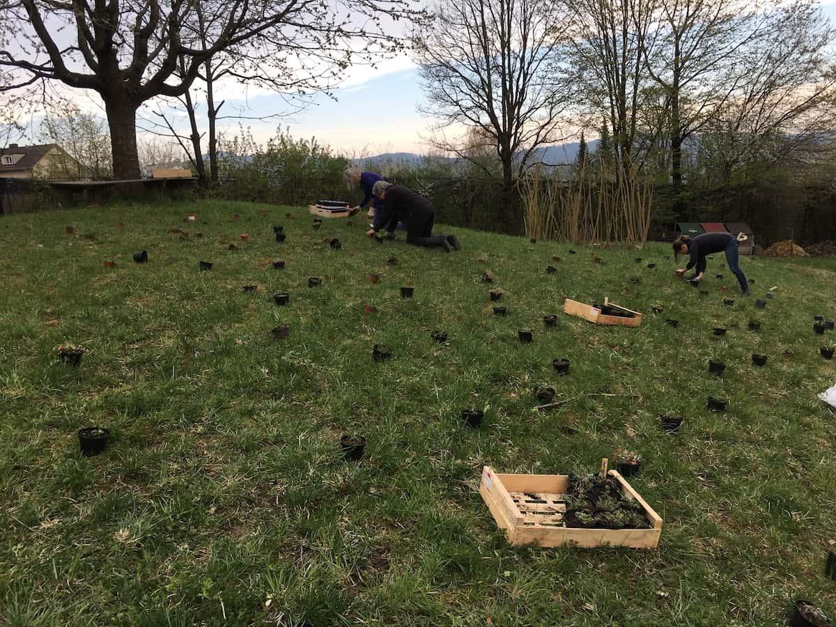 Auf Wiese ausgelegte Wildstauden, bereit zur Pflanzung