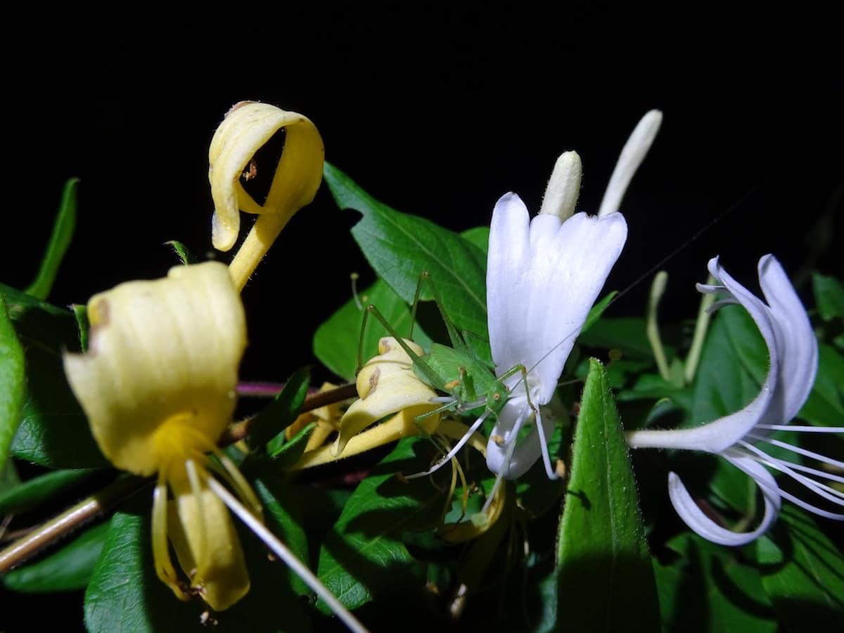 Japanisches Geissblatt (Lonicera japonica)