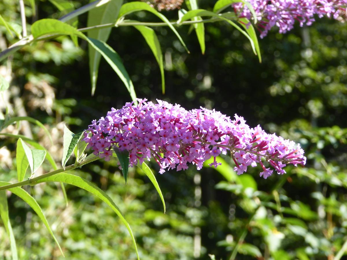Blüte eines Sommerflieder (Buddleja davidii)